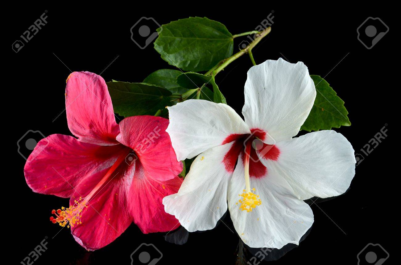 Red And White Hibiscus Flower Over Black Background Stock Photo Picture And Royalty Free Image Image 70972722