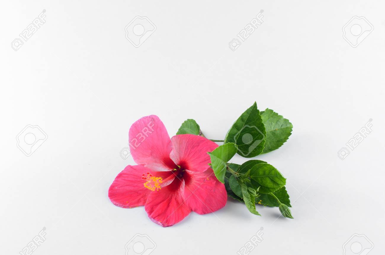 Red Hibiscus Flower Over White Background Stock Photo Picture And