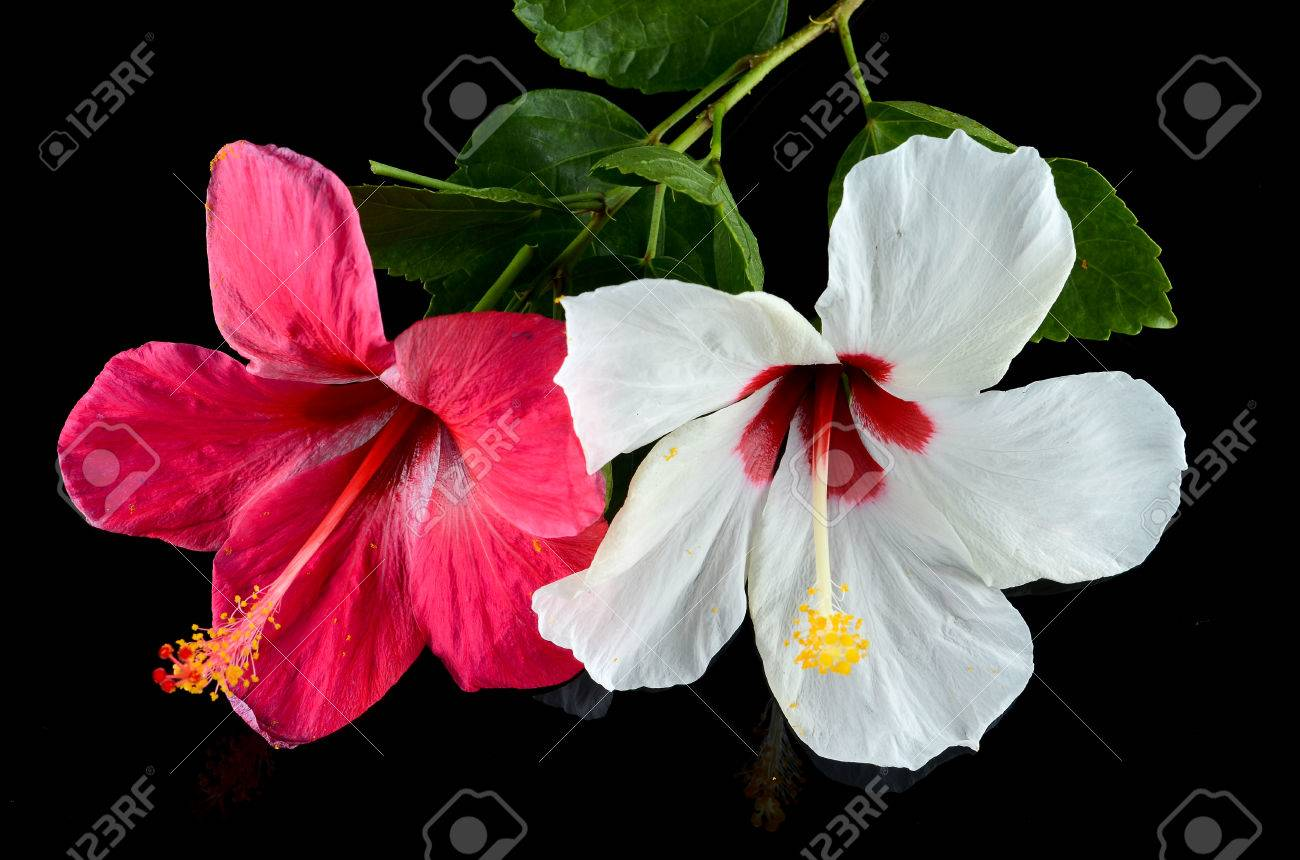 Red and white hibiscus flower over black background stock photo red and white hibiscus flower over black background stock photo 70972810 izmirmasajfo