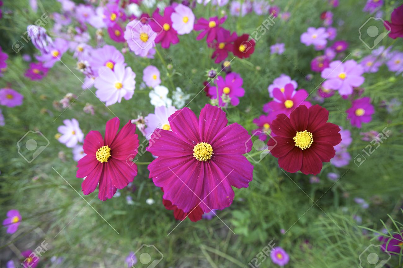Cosmos Cosmos Bipinnatus Is An Annual And Perennial Plant In