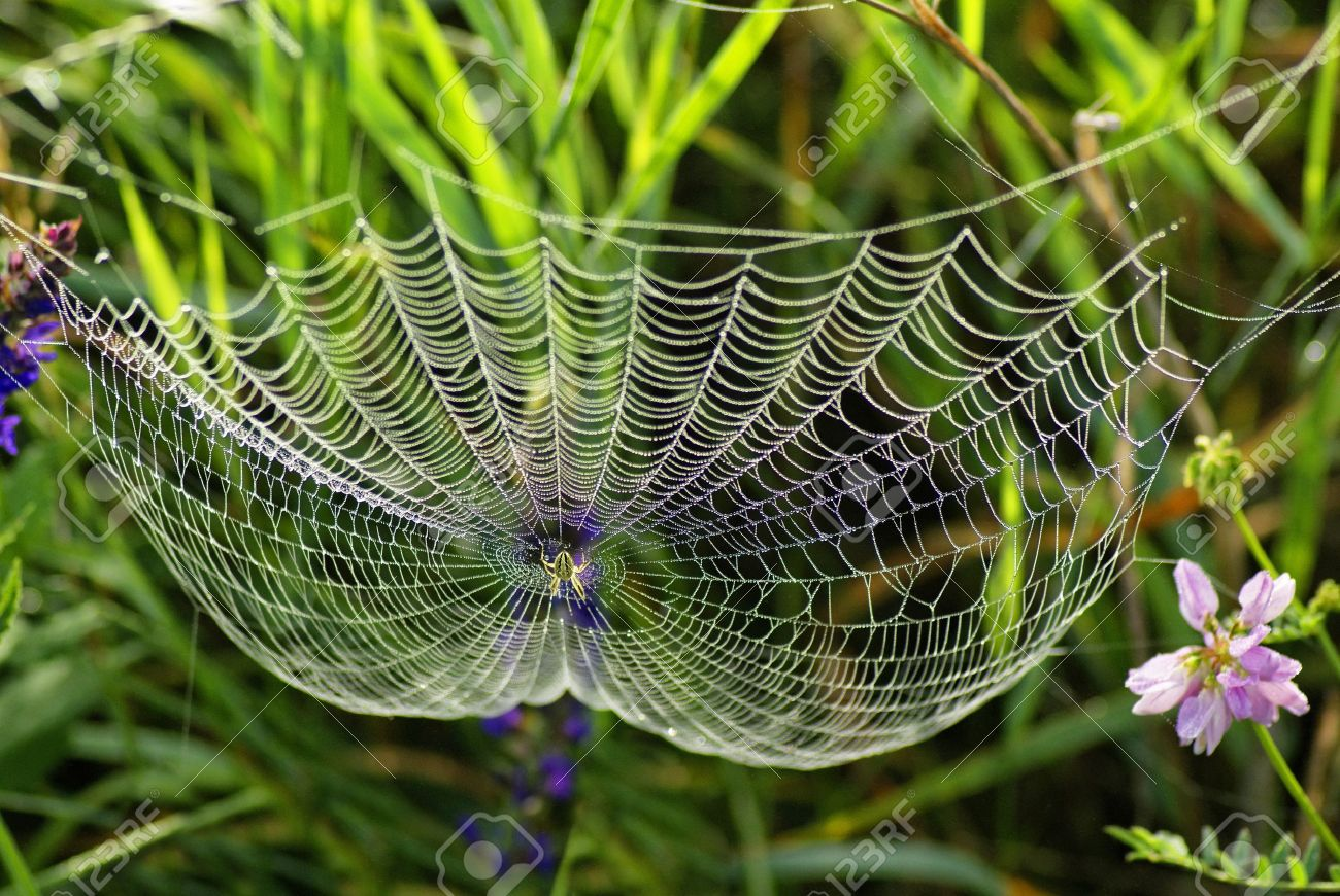 Spider Flower Stock Photos. Royalty Free Spider Flower Images