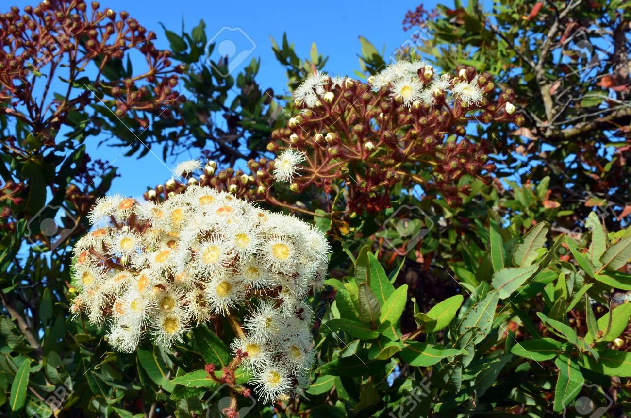 Cluster Of White And Yellow Gumtree Angophora Hispida Flowers
