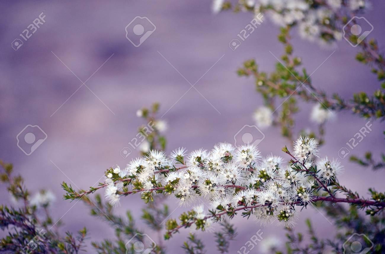 White Honey Scented Flowers Of The Australian Native Kunzea Stock