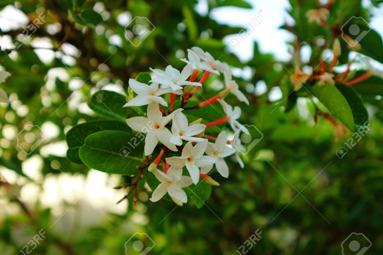 White Gardenia Flower Gardenia Jasminoides With Rain Drops Stock