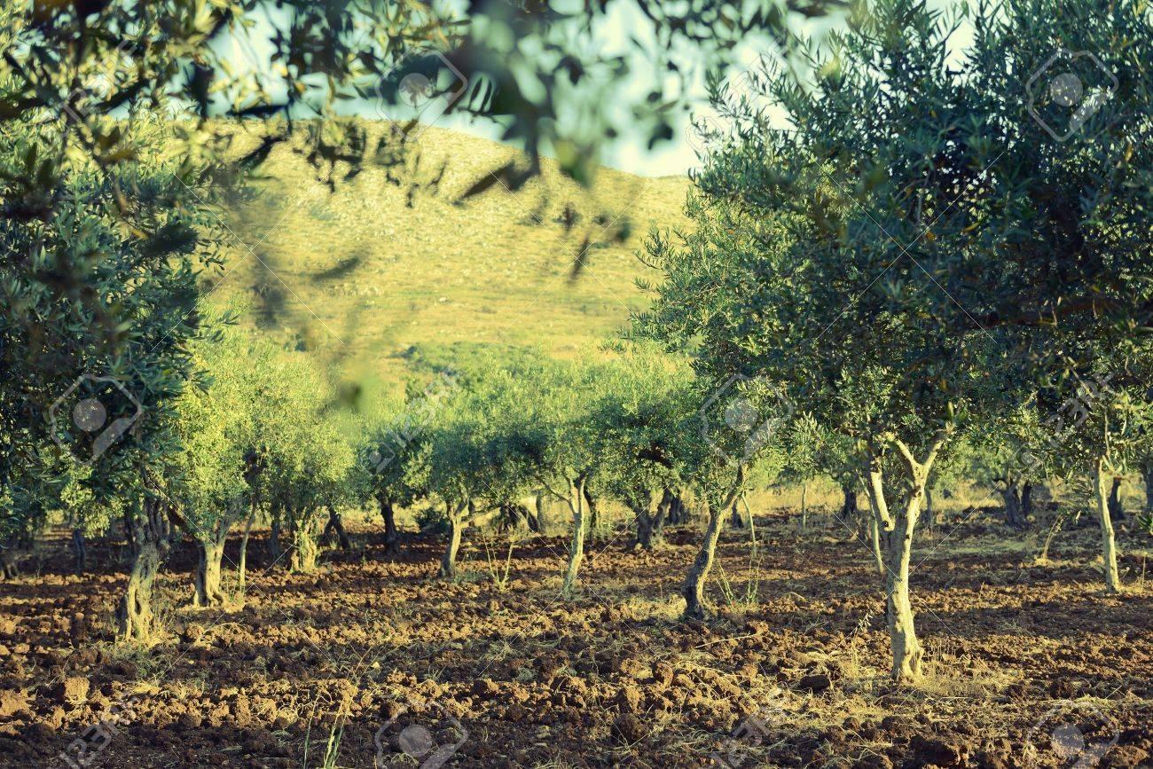Olivenbaume Garten Mediterran Olive Fur Ernte Bereit Lizenzfreie