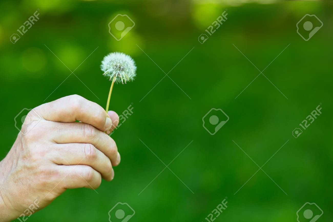 Dandelion flower over vivid green grass background man holding dandelion flower over vivid green grass background man holding white dandelion ready to blow mightylinksfo Images