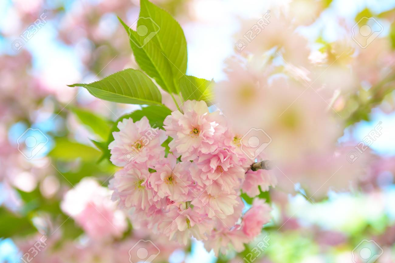 Cherry Blossoms Blooming Cherry Tree Branch With Large Pink Stock
