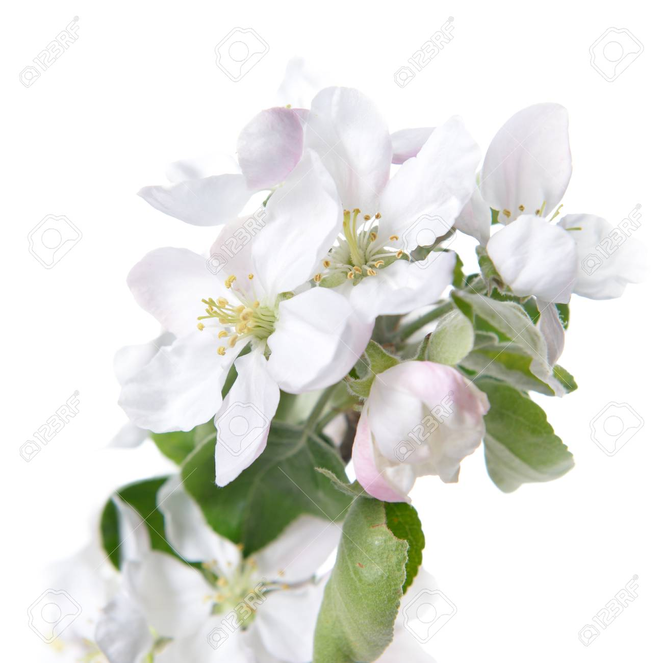Apple Blossoms Blooming Apple Tree Branch With Large White Flowers