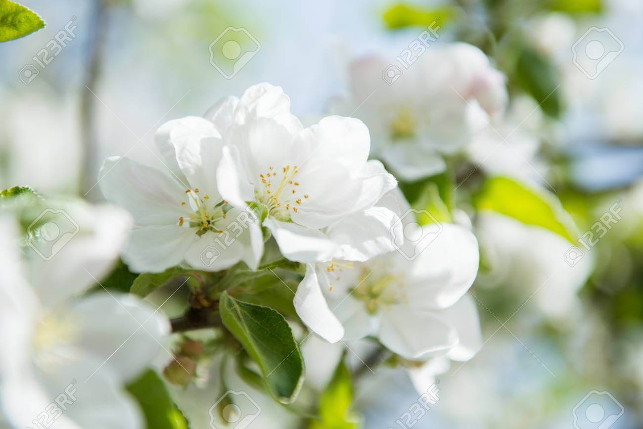 Apple Blossoms Blooming Apple Tree Branch With Large White