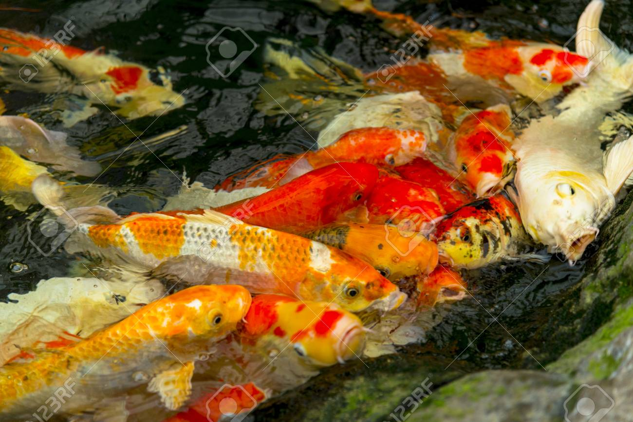 Carps Fish Or Carps Swim In Pond, Movement Of Swimming And Space ...