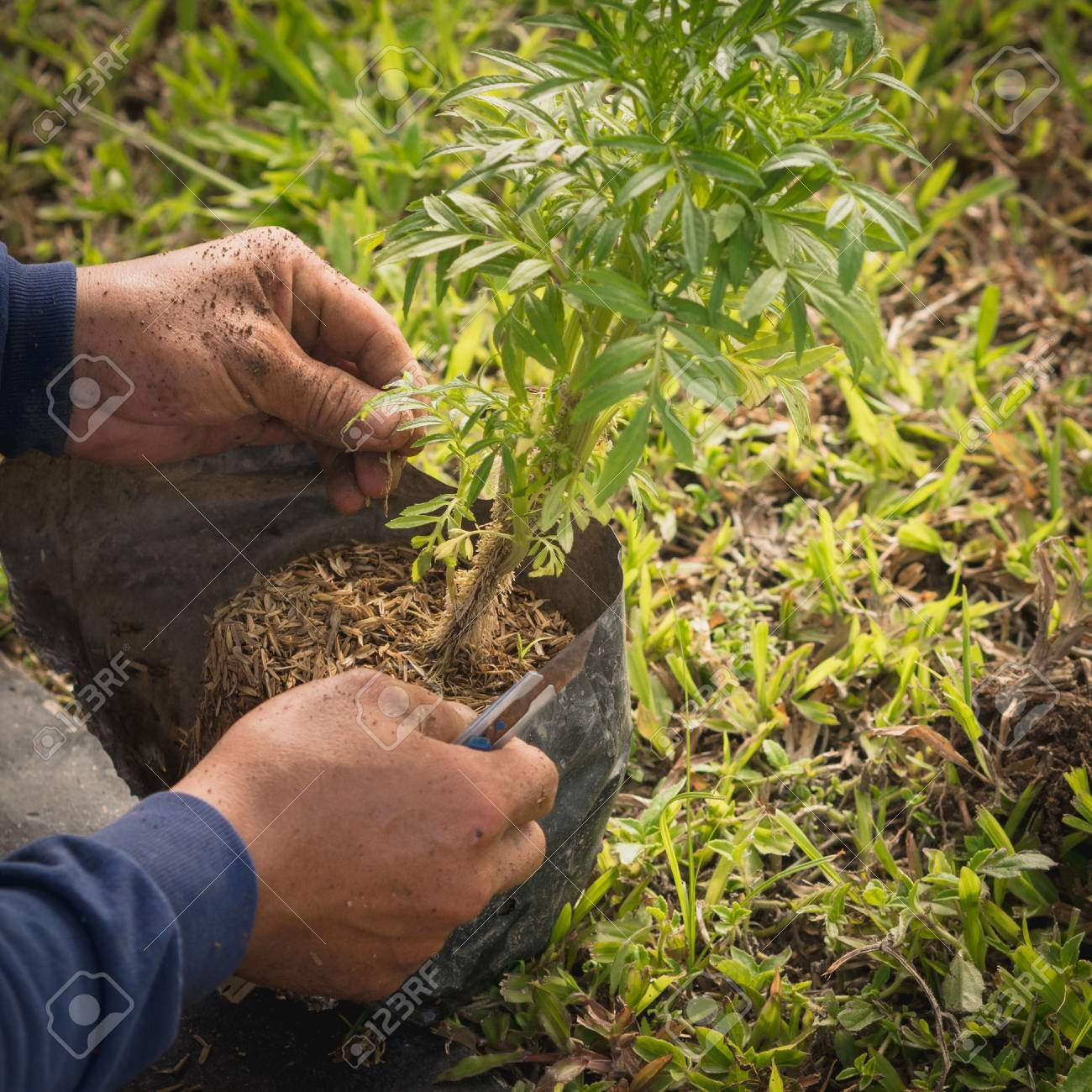 Gardeners Plant Marigold Seedlings Stock Photo Picture And