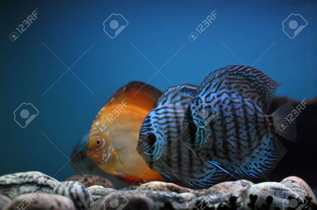 three coloured fish in cristal blue water in aquarium Stock Photo - 8170888