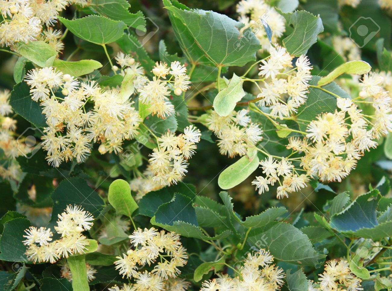 Linden Tree With White Flowers Stock Photo Picture And Royalty Free