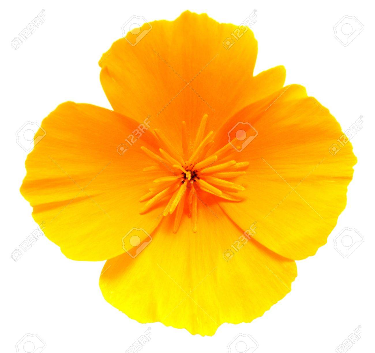 Close Up Of California Golden Poppy Flower Isolated On White Stock