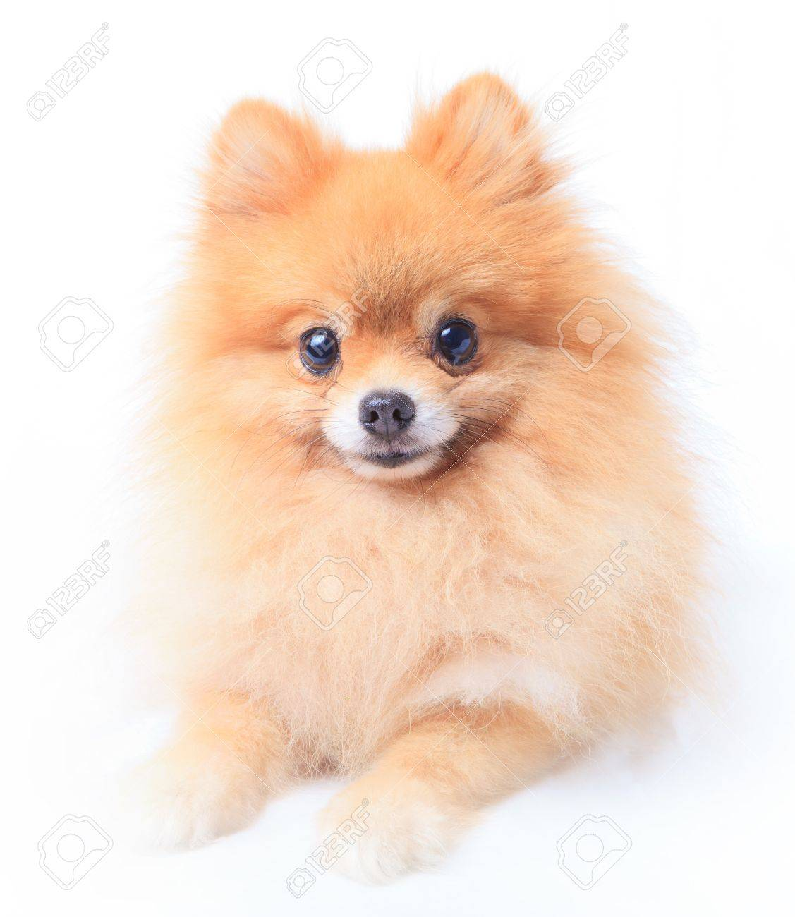 Pomeranian Dog Sitting In Front Of White Stock Photo Picture And