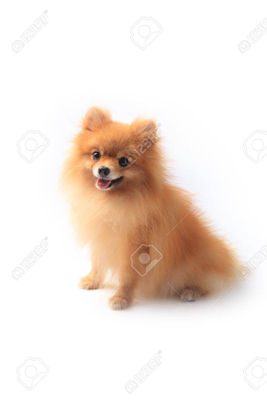 Pomeranian Dog Sitting On White Background Stock Photo Picture And