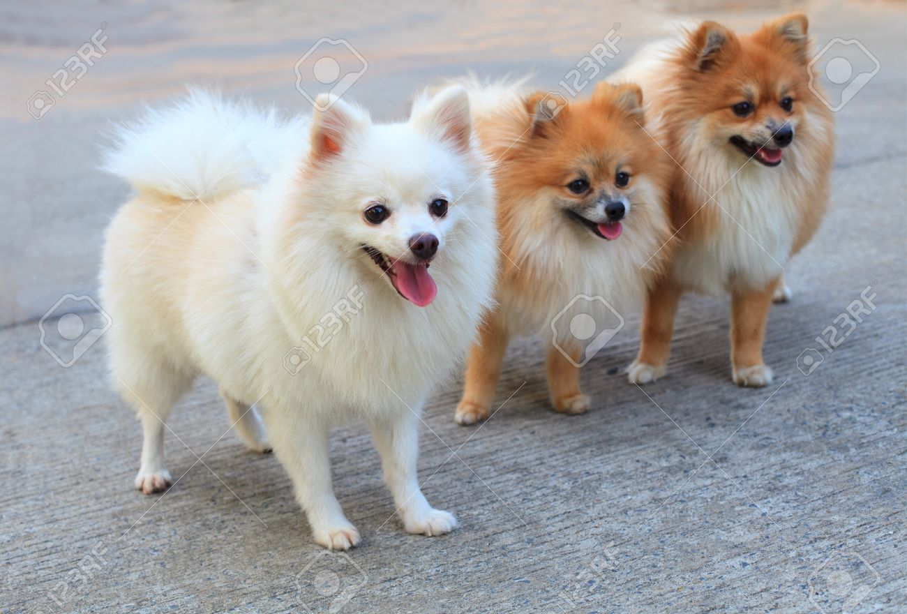 Group of white pomeranian dog and brown color stock photo picture group of white pomeranian dog and brown color stock photo 13378292 thecheapjerseys Image collections