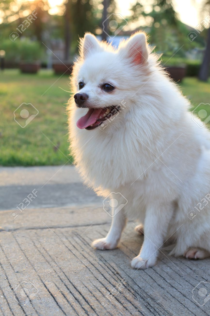 Face Of White Pomeranian Dog Stock Photo Picture And Royalty Free