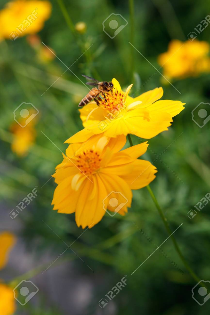 yellow star flower and bee insect flying for honey food in flora garden Stock Photo - 15551451