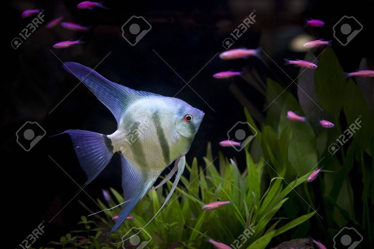 angle fish  in aquarium Stock Photo - 18556164