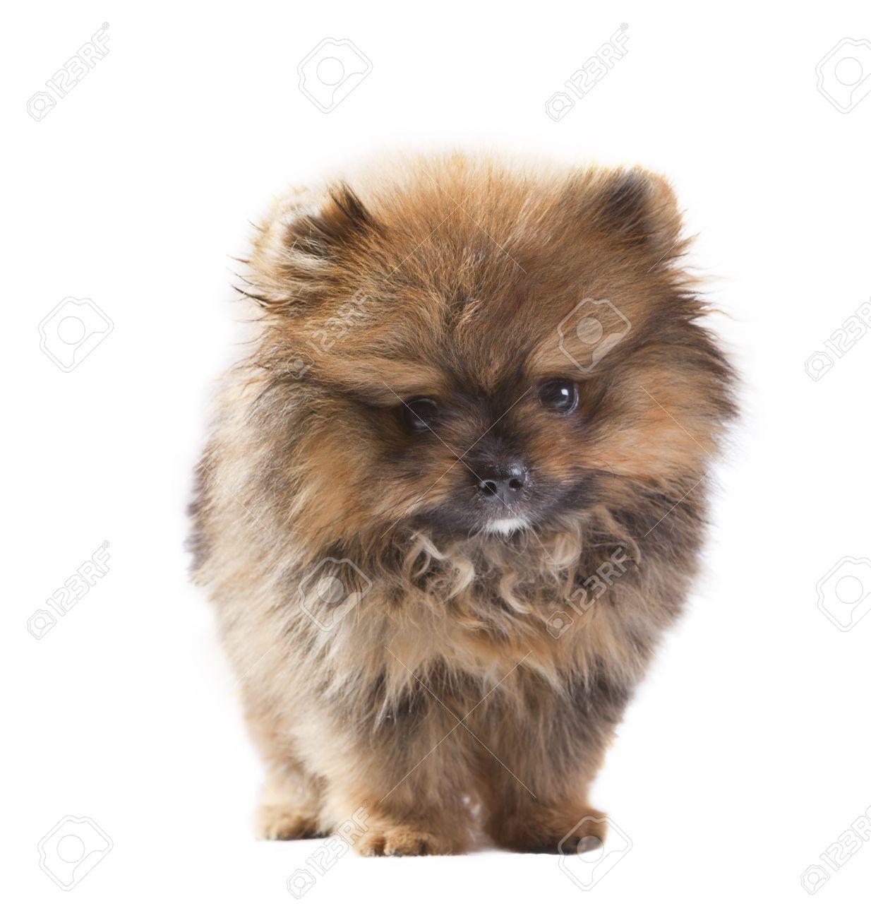 Baby Of Pomeranian Dog Isolated White In Studio Pack Shot Stock