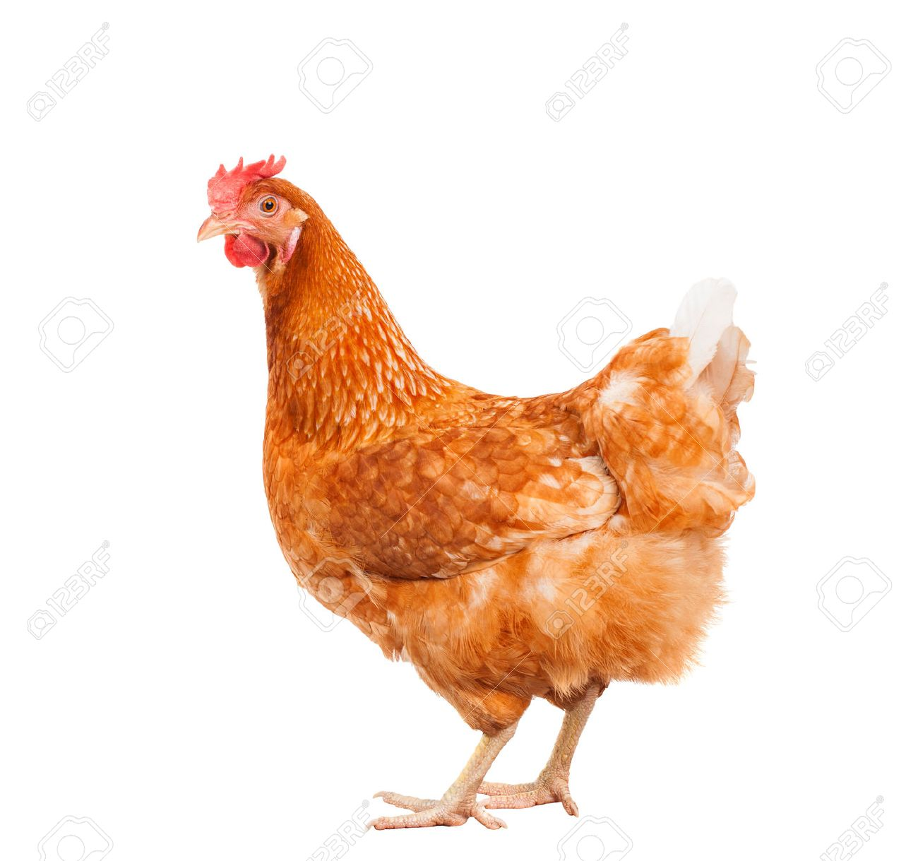 c1e55379d full body of brown chicken hen standing isolated white background use for  farm animals and livestock