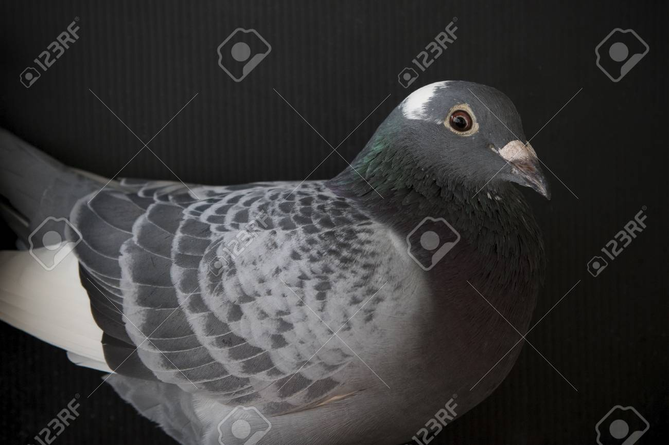 close up face of speed racing pigeon bird,head shot on black