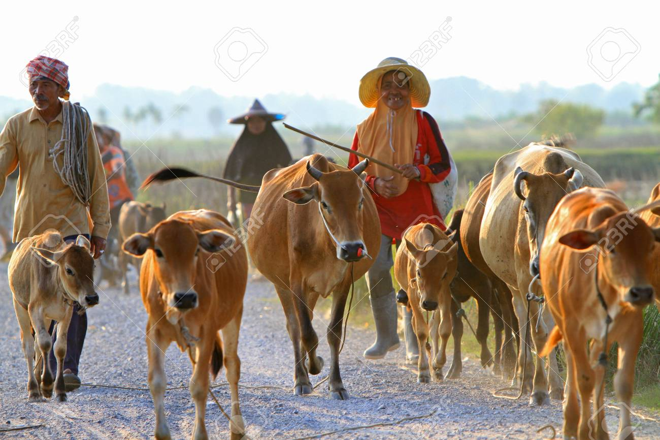Nakhon Si Thammarat, Thailand - FEBRUARY 18, 2011 : Local farmers lead a herd of cows down the road. Stock Photo - 16943188