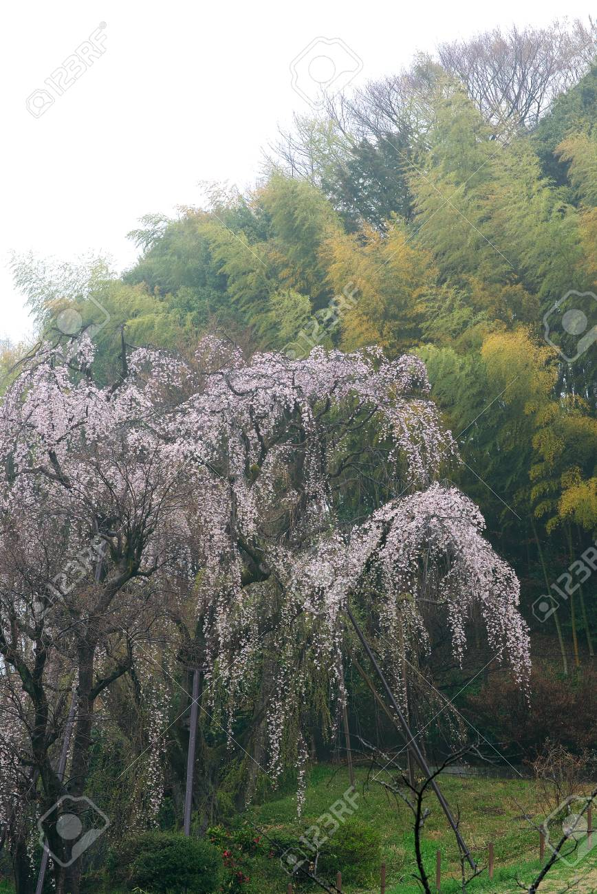 Tokyo Japan March 31 2019 Old Weeping Cherry Tree With Twitter