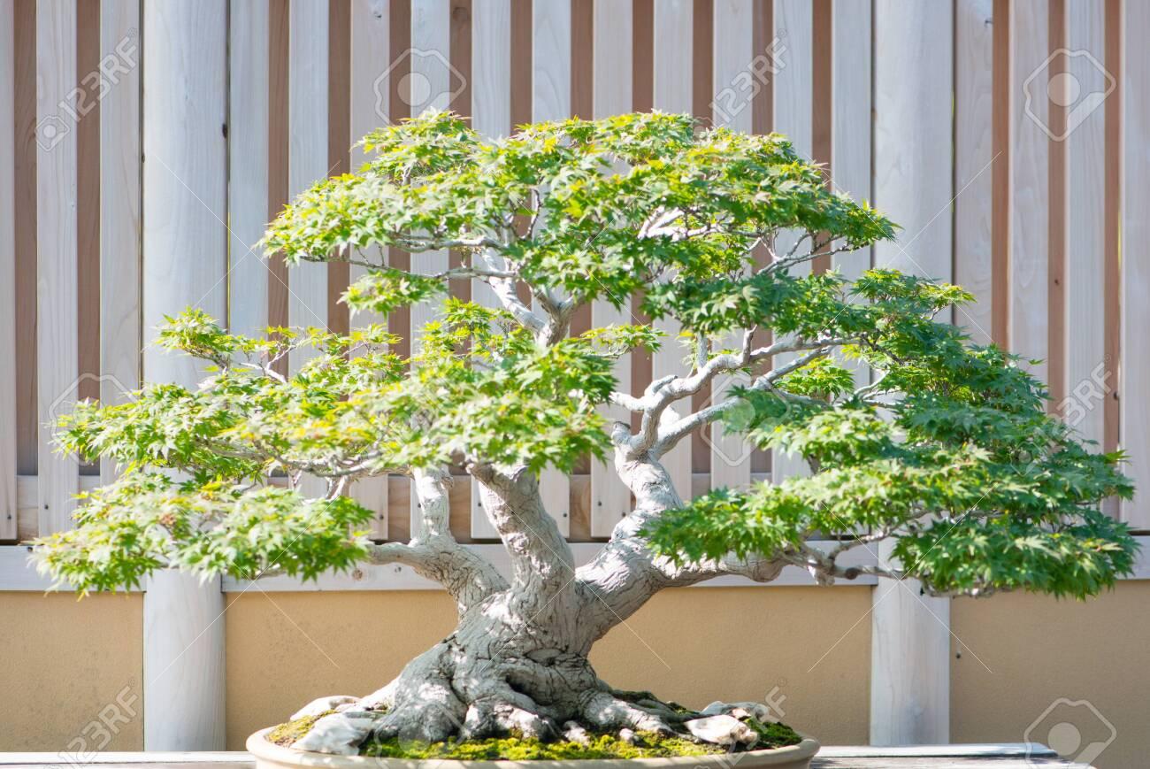 Japanese Maple Bonsai Tree In Omiya Bonsai Village At Saitama Stock Photo Picture And Royalty Free Image Image 125730640