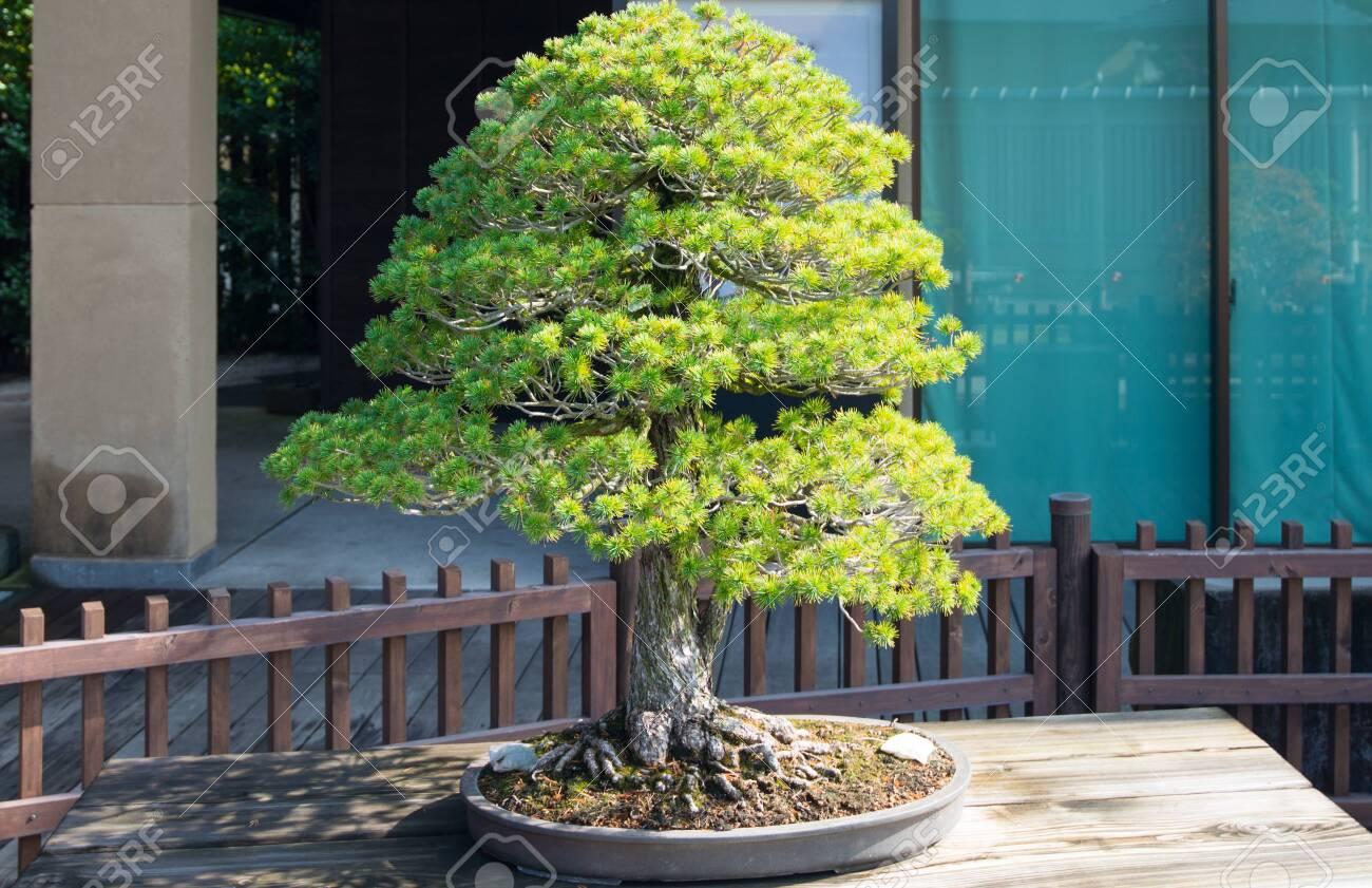 Japanese White Pine Bonsai Tree In Omiya Bonsai Village At Saitama Stock Photo Picture And Royalty Free Image Image 126010777