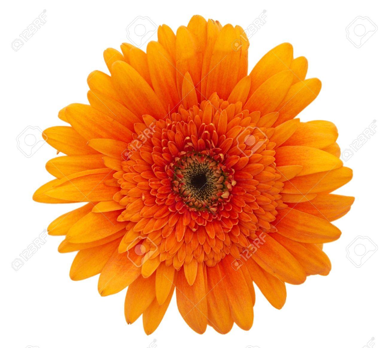 single orange daisy flower close up on white background stock
