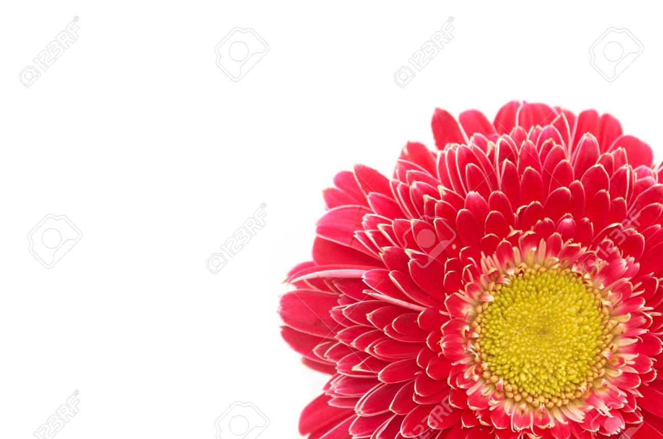 Colorful Daisy Flower On White, Space For Messages Stock Photo ...