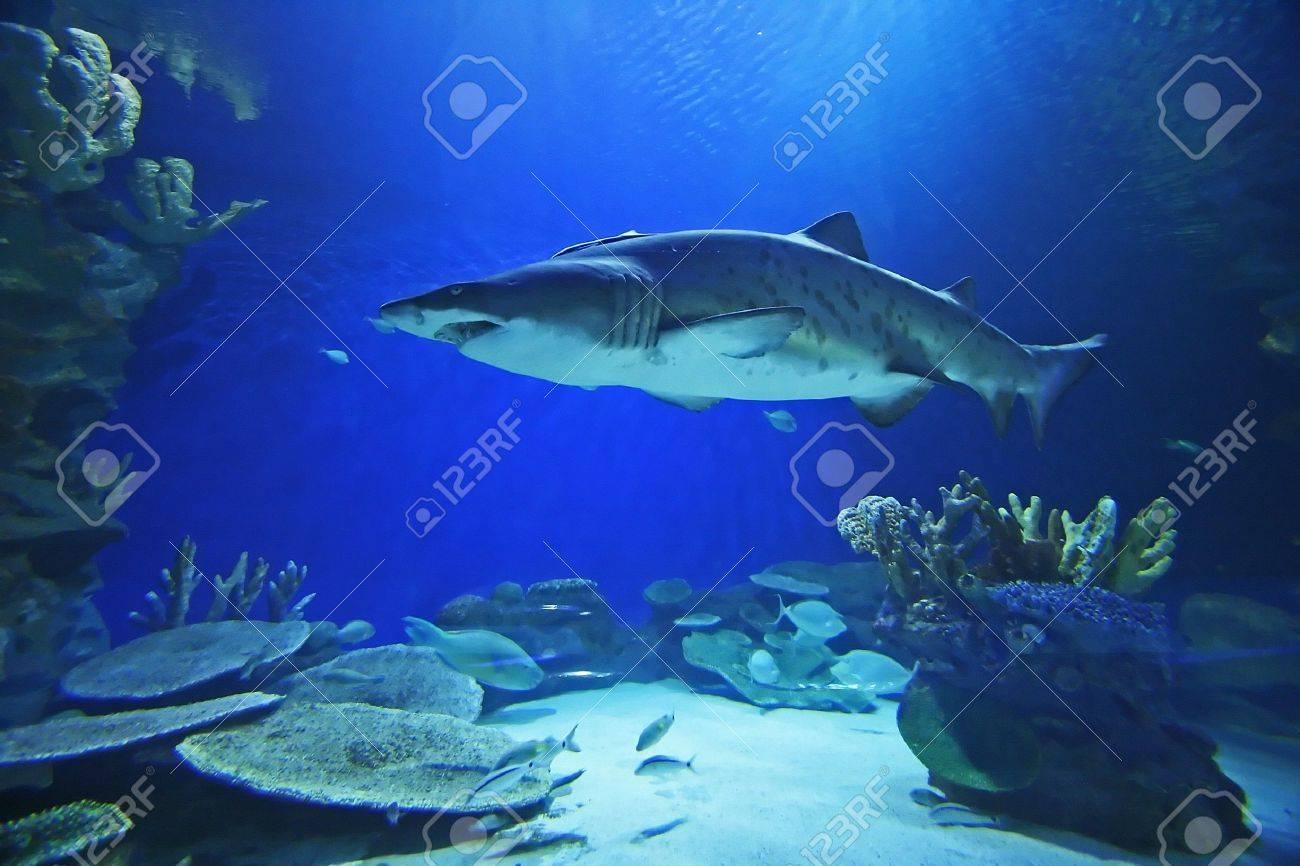 Sand tiger shark information amp pictures of sand tiger sharks - Sand Tiger Shark Stock Photo 599446
