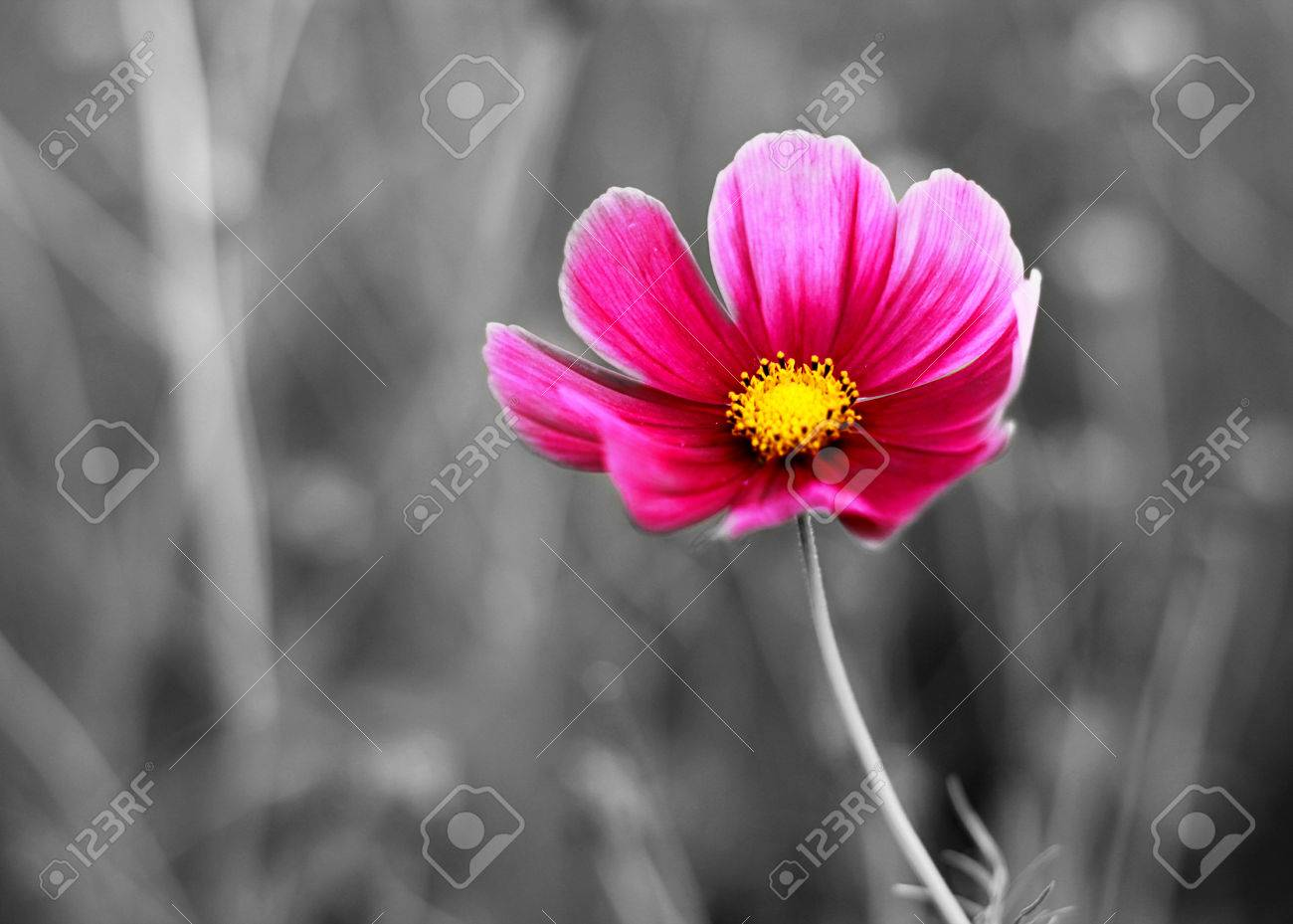 Color Cosmos Flowers Closeup On Black And White Background Stock Photo