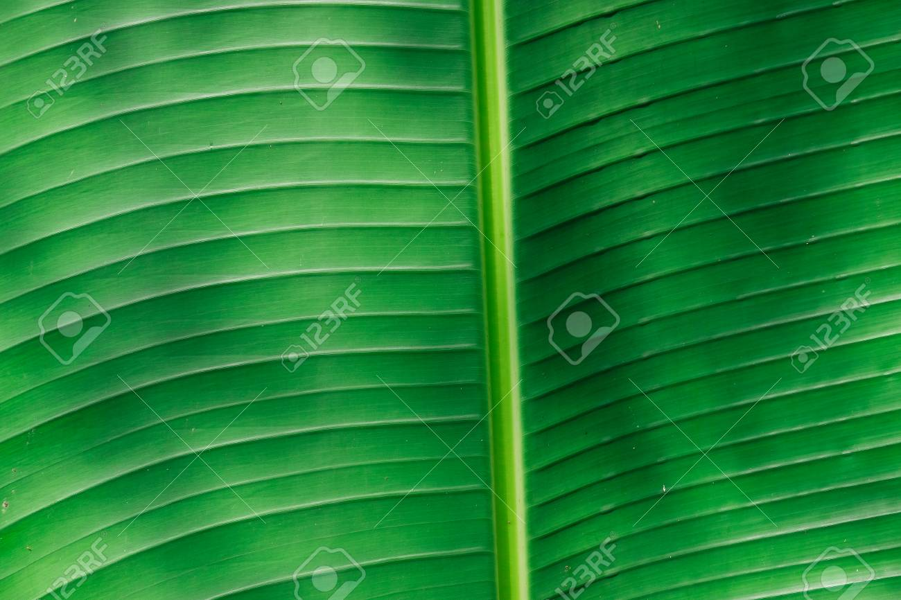 Green banana leaf background abstract Standard-Bild - 46785038