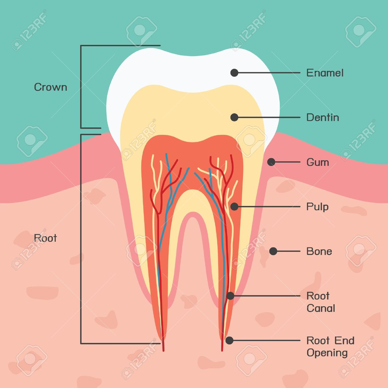 Tooth Anatomy Royalty Free Cliparts Vectors And Stock Illustration