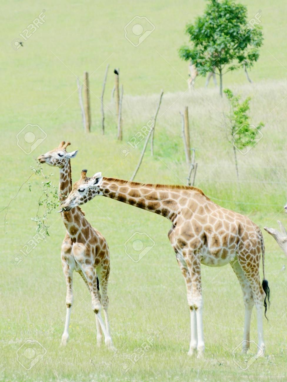 Giraffe Mother Feeding With Baby On Grassland Stock Photo Picture