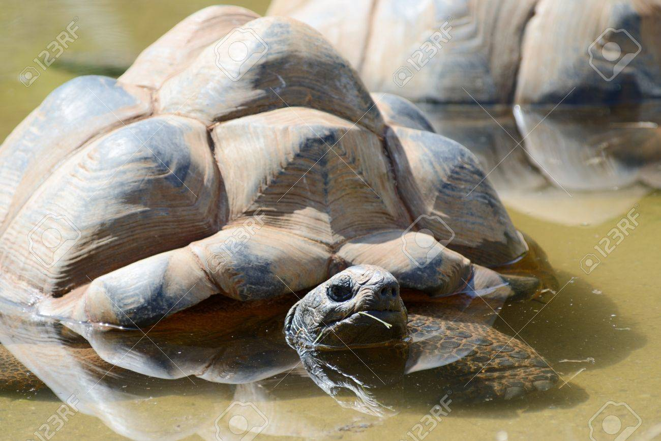 Giant tortoise keeping cool on a sunny day in a pool of water Stock Photo - 21217732