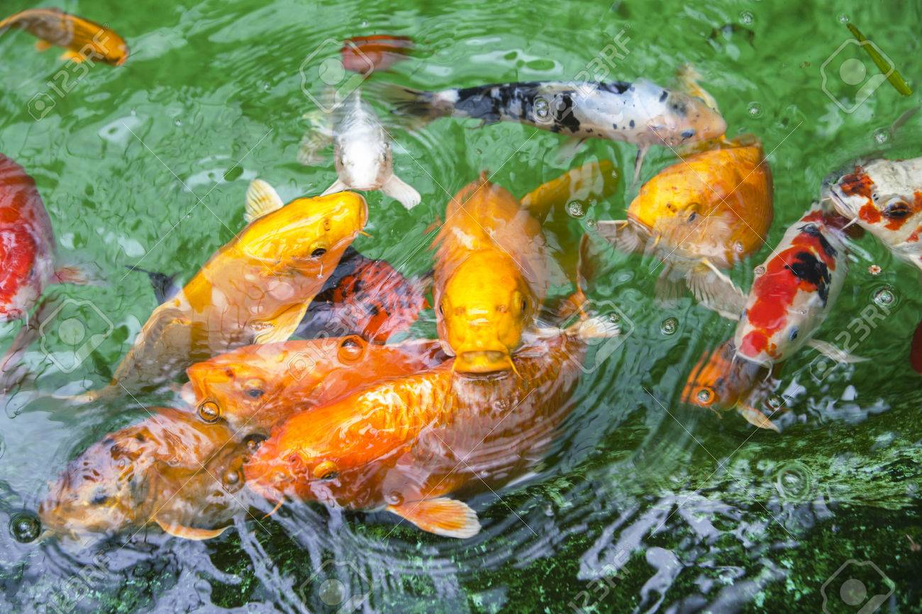 Multi Colored Koi Carp School In A Pond Stock Photo, Picture And ...