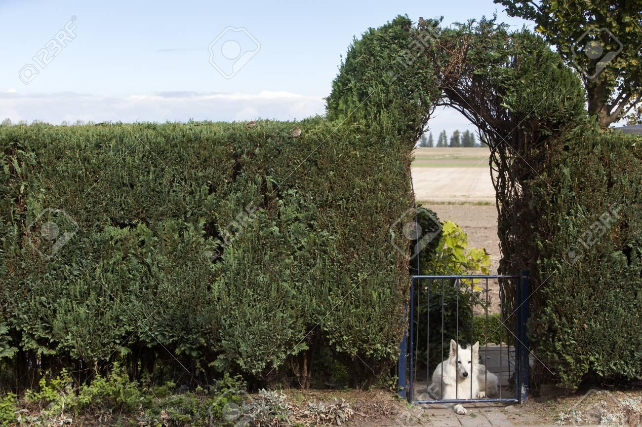 Conifer Haie Et Un Chien Blanc Derrière La Porte Du Jardin Clôture ...