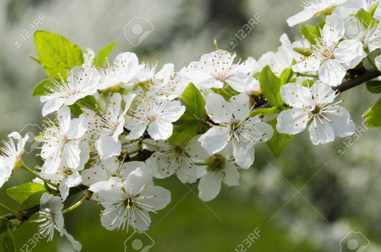 Flowering Tree In The Spring White Flowers With Green Leaves Stock