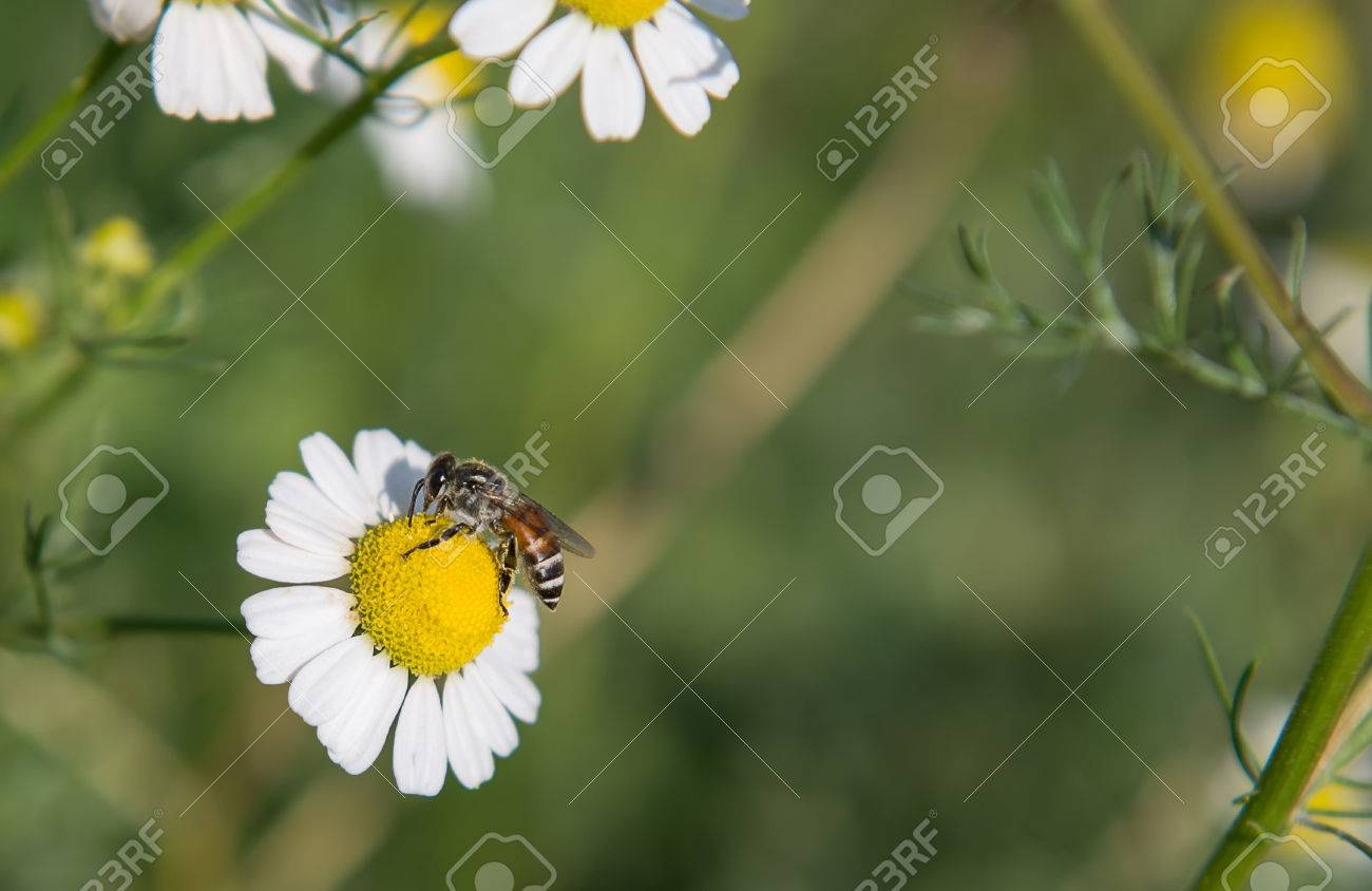 Bee and Little white flower with yellow pollen in garden Stock Photo - 24357871