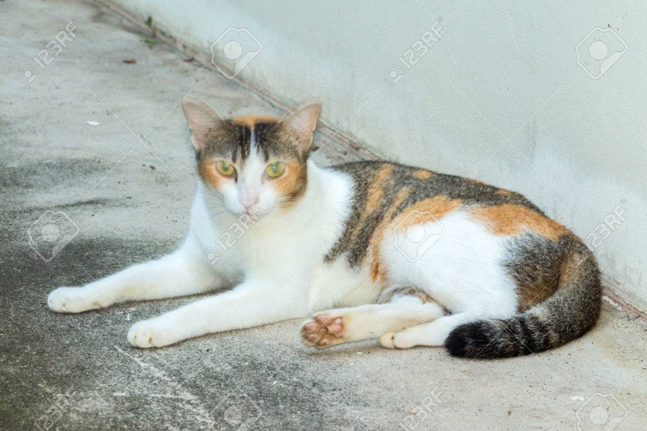 Tricolor (three Colors White, Black, Orange) Cat Lays Down On ...