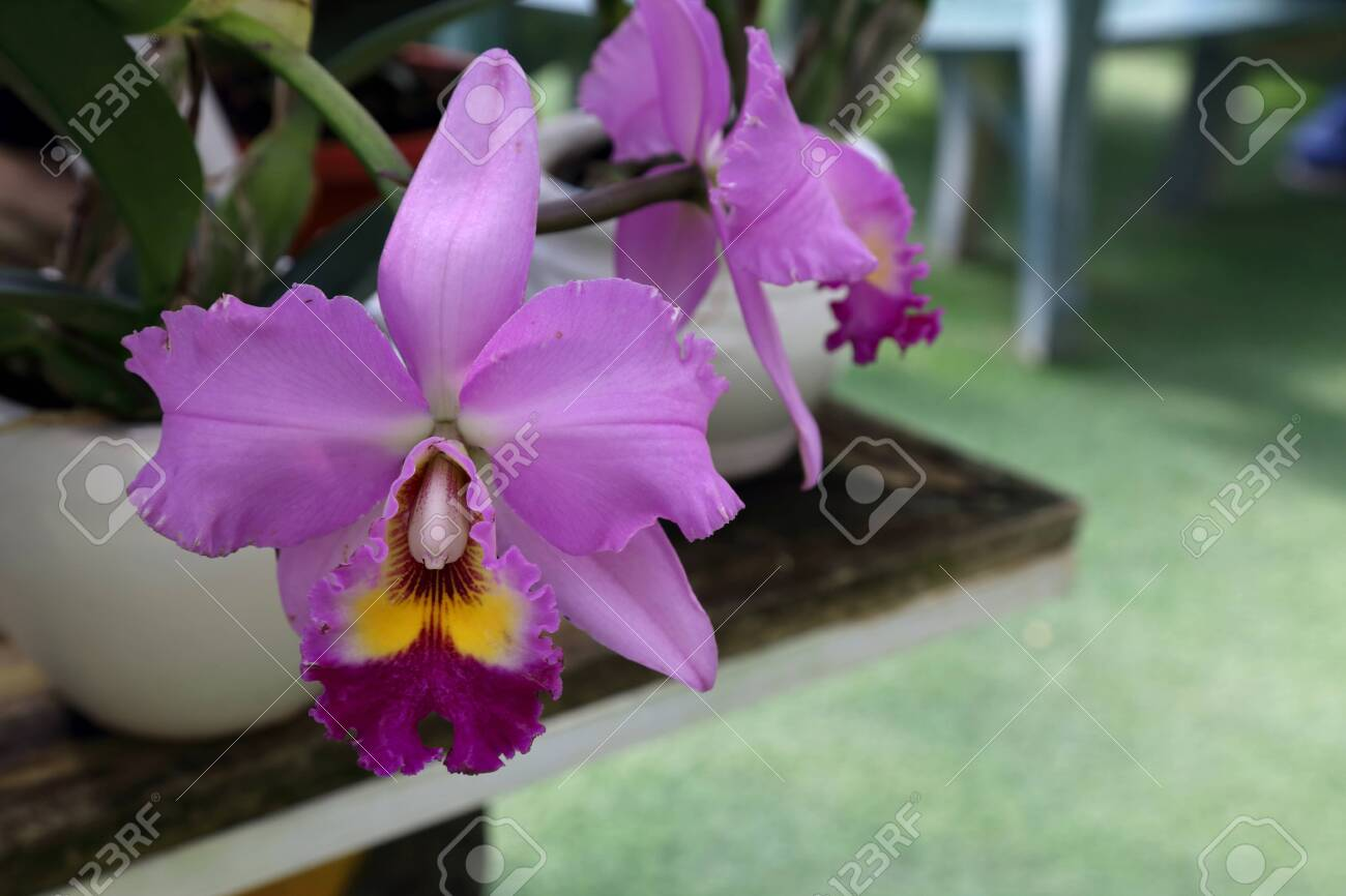 The Purple Bamboo Orchid In The Park Stock Photo Picture And