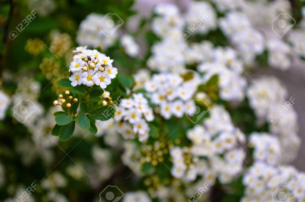 White Spirea Flowers On Bush At Spring Garden Stock Photo Picture