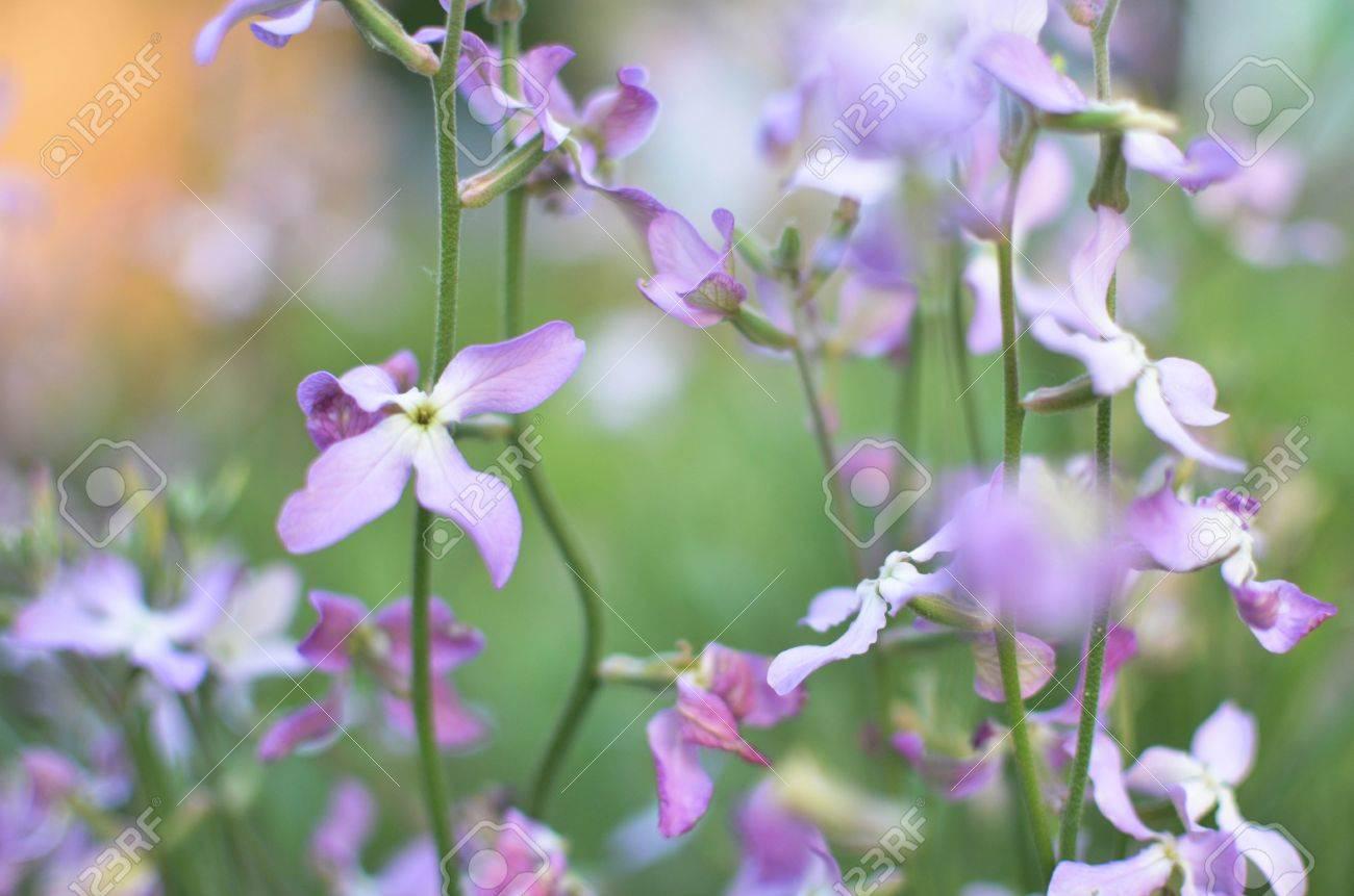 Night violets. Mattiola flower - photo 53