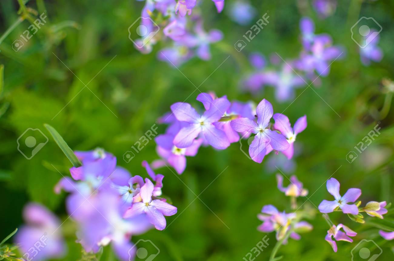Night violets. Mattiola flower - photo 72