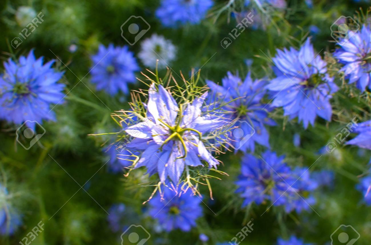 Nigella sativa nature blue and white flowers differential stock nigella sativa nature blue and white flowers differential focus stock photo 68612779 izmirmasajfo