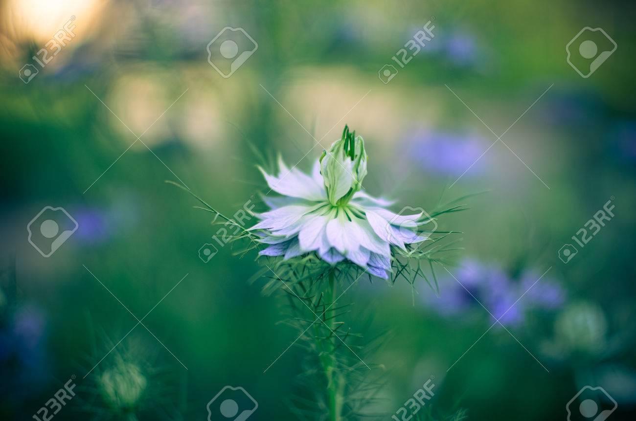Nigella sativa nature blue and white flowers differential stock nigella sativa nature blue and white flowers differential focus stock photo 68612788 izmirmasajfo